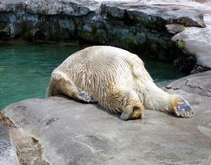 hungover-polar-bear